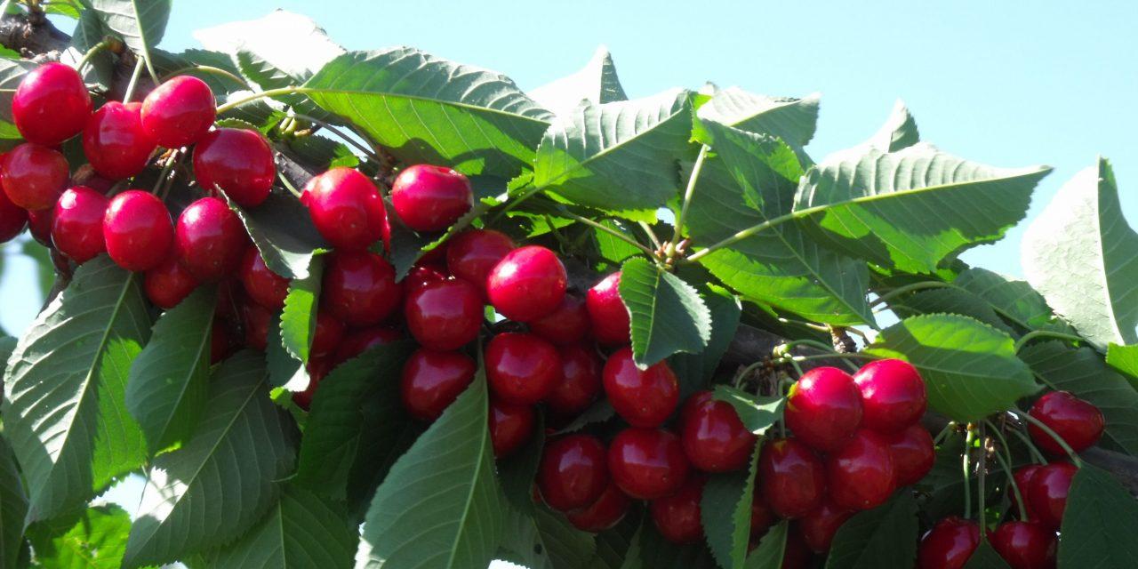 A cseresznye és a meggy fajtahasználatának irányvonalai