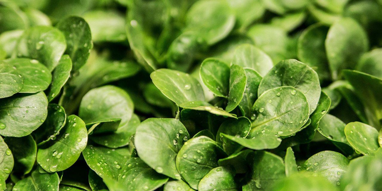 Zöldségfélék víz és tápanyag igénye a palántanevelés során